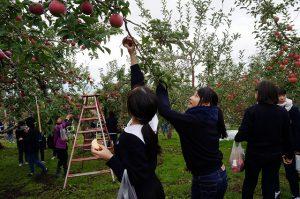 リンゴのもぎ取り体験